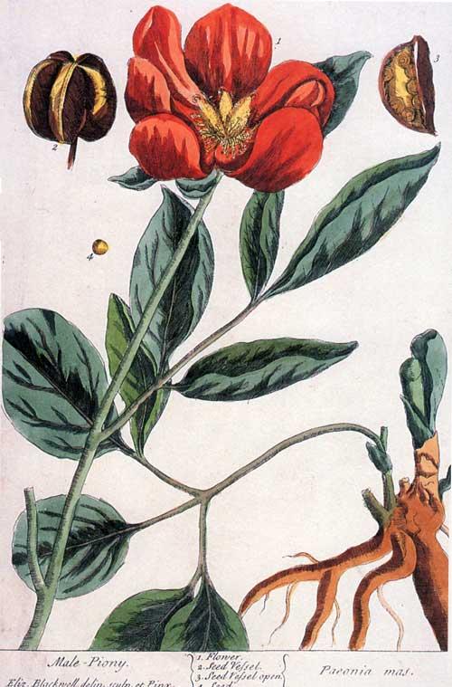 blackwell - male peony
