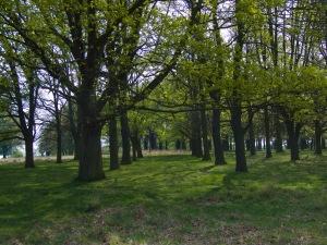 Avenue of oak trees, cTony Grant