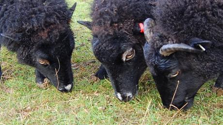 Black Welsh Mountain Sheep - Box HIll