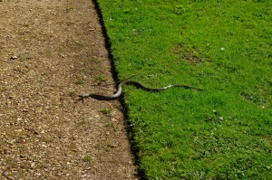 Harmless grass snake on the path